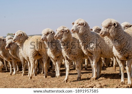 breeding ewes of pure breed Dzhalginsky merino Royalty-Free Stock Photo #1891957585