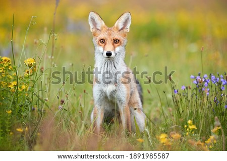 Spring theme. Portrait of Red Fox puppy on a flowering  highland meadow. Fox among blue and yellow blossoms. Direct view, low angle photo of lovely Red Fox cub, Vulpes vulpes. Animals in spring nature Royalty-Free Stock Photo #1891985587