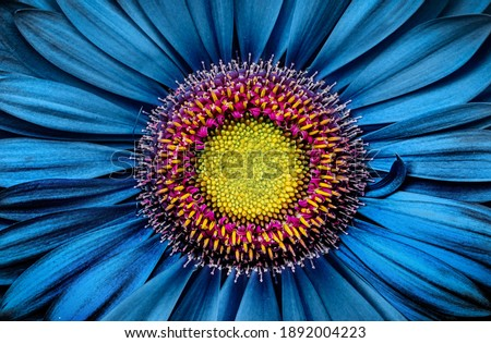 Gerbera flower close up on turquoise background. Macro photography. Card Gerbera Flower. Natural romantic conceptual floral Macro background. Royalty-Free Stock Photo #1892004223