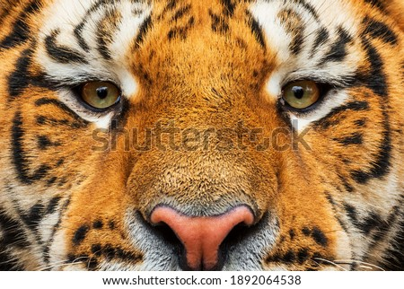 Siberian Tiger - Panthera tigris, beautiful large cat from Asian forests and woodlands, Russia. Royalty-Free Stock Photo #1892064538