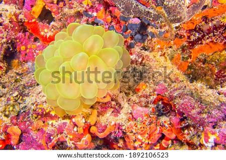 Bubble Coral  Stony Coral  Plerogyra sinuosa at Coral Reef in North Ari Atoll Maldives  Indian Ocean  Asia Royalty-Free Stock Photo #1892106523