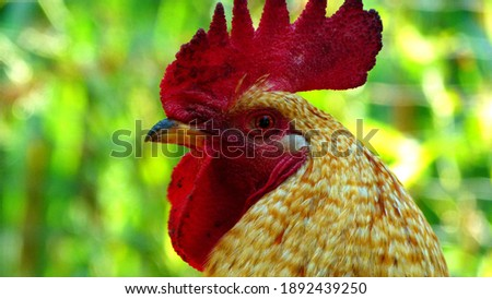 a rooster shot very close