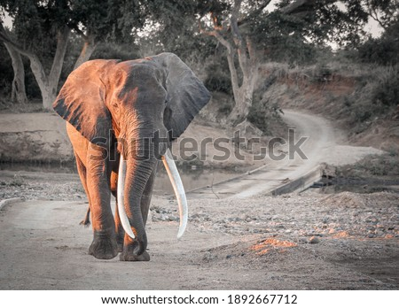 African Elephant in Kruger National Park, South Africa. Large Tusks - Tusker Royalty-Free Stock Photo #1892667712