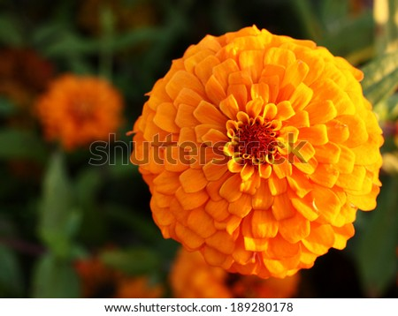 Zinnia flower in the plant green background #189280178