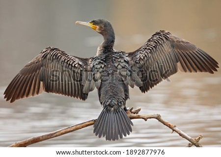 A great cormorant (Phalacrocorax carbo) drying its wings after a swim at a lake. Royalty-Free Stock Photo #1892877976