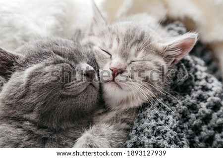 Couple of sleeping kittens in love on Valentine day. Cat noses close up.Family of sleeping kittens hug and kiss.Cats cozy sleep at home. Royalty-Free Stock Photo #1893127939