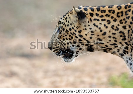 A very close side picture of a leopard with extreme details. This photo was taken in Yala national park of Sri Lanka. Photographe back ground is clean and clear .