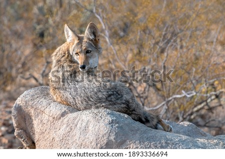 Coyote resting on a Rock Glancing over Shoulder Royalty-Free Stock Photo #1893336694