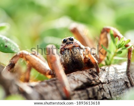 Wolf spider in a naturale enviroment. Macro photos with great details. Lycosidae family.