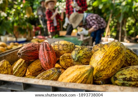 The children to unpack the cocoa pods, Fresh cacao pod cut exposing cocoa seeds, with a cocoa plant, cacao beans fermented in wooden barrels, to maintain the quality of cacao flavor. Royalty-Free Stock Photo #1893738004