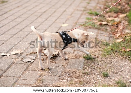 Mini beige chihuahua dog puppy is walking outdoor, green grass background. High quality photo