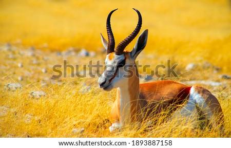 Wild african animals. The springbok (medium-sized antelope) in tall yellow grass. Etosha National park. Namibia  Royalty-Free Stock Photo #1893887158