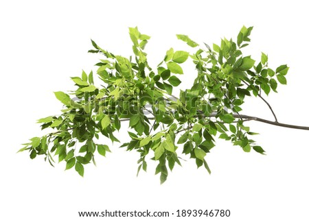 Beautiful tree branches with green leaves on white background Royalty-Free Stock Photo #1893946780