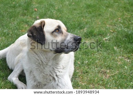 Picture of the giving dog posing  lying down on the grass.