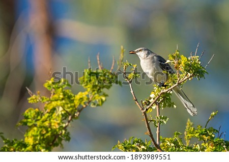 Northern Mockingbird Spits Out Seed