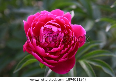 Macro photo nature flower peony. Stock photo Background texture of a blooming peony flower with pink raspberry buds. An image of a peony flower. High quality photo