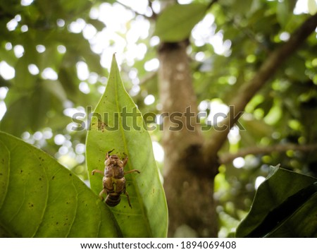 picture of a cicadas skin hanging on a leaf