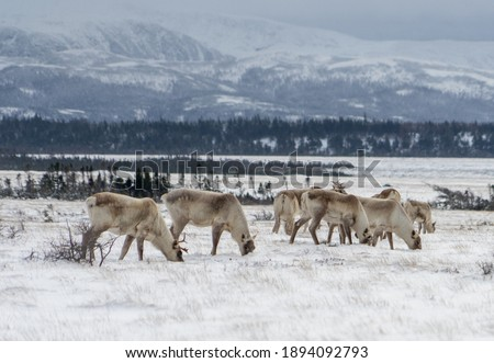 A heard of Caribou in Gros Morne National Park. Royalty-Free Stock Photo #1894092793