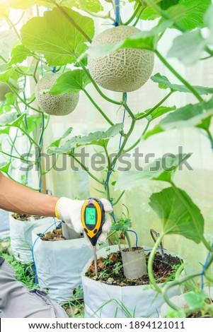 Use soil PH meter for check the PH value of melon tree soil