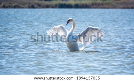 Graceful white Swan swimming in the lake and flaps its wings on the water. White swan is flapping its wings above calm blue water surface background. The mute swan, latin name Cygnus olor. Royalty-Free Stock Photo #1894137055