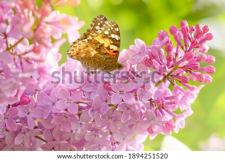 Blooming lilac bush in the garden. The butterfly sits on delicate lilac flowers. Royalty-Free Stock Photo #1894251520