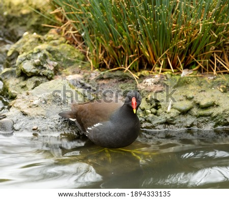 Moorhen on the bank of a river with its feet in the water. Royalty-Free Stock Photo #1894333135