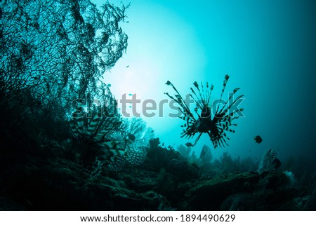 A lionfish is silhouetted over a shallow, healthy reef in Raja Ampat, Indonesia. This remote, tropical region is known as the heart of the Coral Triangle due to its spectacular marine biodiversity. Royalty-Free Stock Photo #1894490629