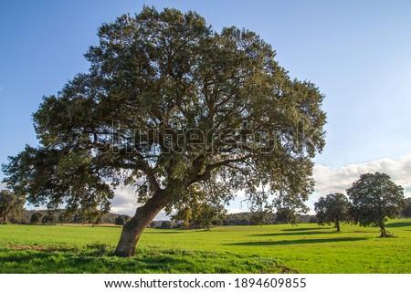 Holm oak grove, quercus ilex trees  green landscape Royalty-Free Stock Photo #1894609855