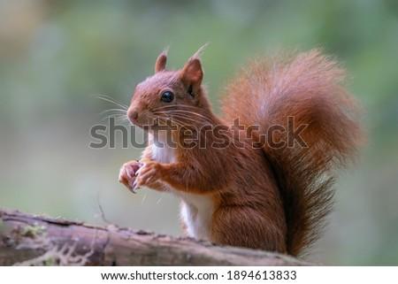 Curious Eurasian red squirrel (Sciurus vulgaris) eating a hazelnut in the forest of Tessenderlo, Belgium. Green background.