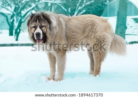 Adult Caucasian Shepherd dog. Caucasian sheepdog in winter time Royalty-Free Stock Photo #1894617370