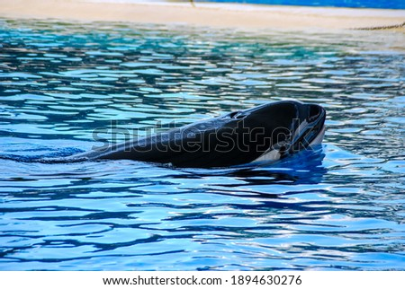 dolphin in blue water, beautiful photo digital picture