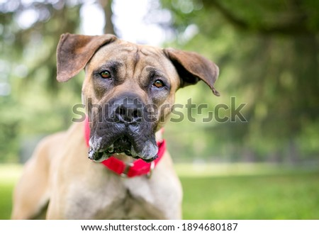 A Great Dane mixed breed dog with large floppy ears wearing a red collar and looking at the camera with a head tilt Royalty-Free Stock Photo #1894680187