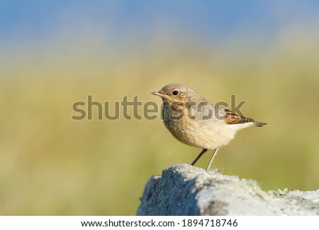 Close up of a juvenile Northern wheatear (Oenanthe oenanthe) perched on a rock against green background in summer, Scotland, UK. Royalty-Free Stock Photo #1894718746