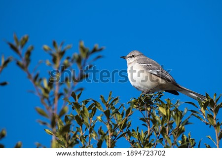 Northern Mockingbird perched in Holly bush