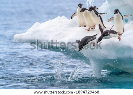 Two adelie penguins dive into the water while their friends excitedly cheer them on