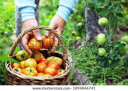 Happy organic farmer harvesting tomatoes in greenhouse. Farmers hands with freshly harvested tomatoes. Freshly harvested tomatoes in hands. Young girl hand holding organic green natural healthy food.  Royalty-Free Stock Photo #1894846741