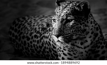 Beautiful Picture of Leopard in black and white looking to hunt