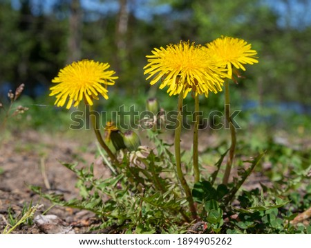 Macro Photo of a dandelion plant. Dandelion plant with a fluffy yellow bud. Yellow dandelion flower growing in the ground.