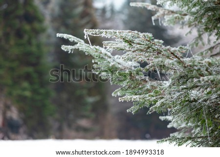 Frost on the branches of coniferous trees. Winter bright background. Branches of fir covered with frost. Royalty-Free Stock Photo #1894993318