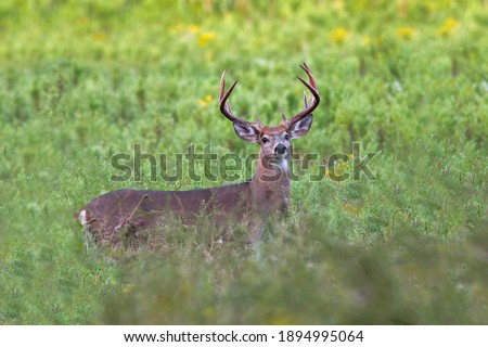 Ten point whitetail deer buck in a field. Royalty-Free Stock Photo #1894995064