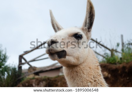 Close up picture of a llama in Cusco, Peru. White llama face.