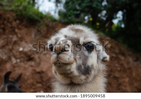 Very close portrait of a llama with black eyes. Funny picture of a lama with spiky hair. White and brown llama.