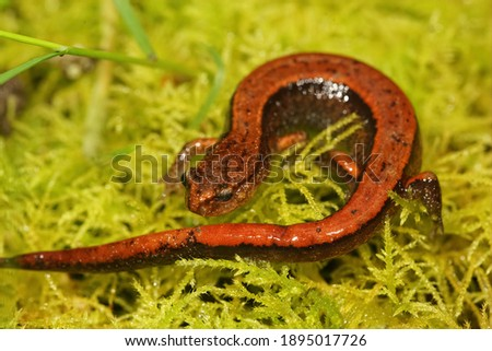 A bright red form of the Western redback salamander, Plethodon vehiculum
