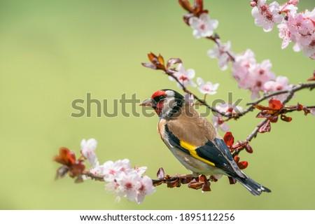 Goldfinch, Carduelis carduelis, single bird on blossom Royalty-Free Stock Photo #1895112256