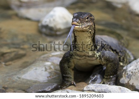 Monitoring lizard in the river with stones around and long forked tongue out of its mouth Royalty-Free Stock Photo #1895209603