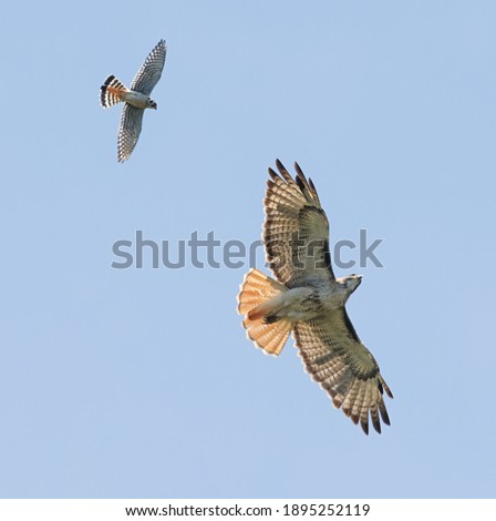 American kestrel - Falco sparverius - chasing red tailed hawk - Buteo jamaicensis - with blue sky background