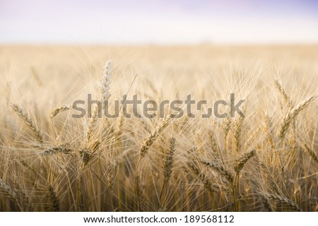 Wheat field on a Sunny day. Agriculture. #189568112