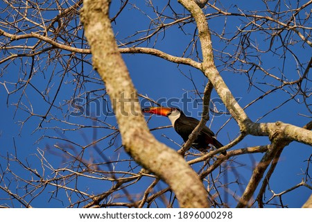 exotic birds of the Pantanal. Toco toucan, Ramphastos toco, also common toucan or giant toucan, the largest species in the toucan family, sitting in a high tree in the Pantanal, Brazil, South America