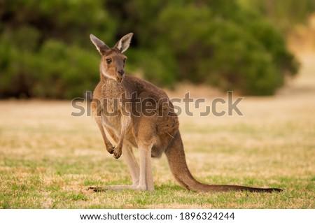 Australian Kangaroo Heirisson Island Perth