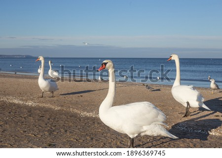 Beautiful white swans walking on the beach. Baltic Sea, winter Royalty-Free Stock Photo #1896369745